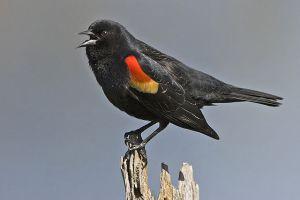 [Credit:  Alan D. Wilson, www.naturespicsonline.com]
